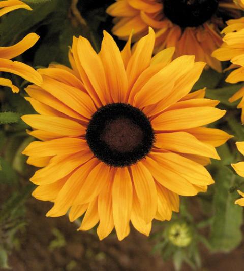 Månadens blomma - juli 2009