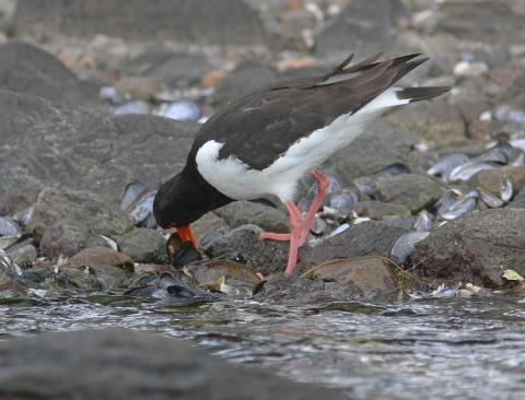 Strandskata, Bohusläns landskapsfågel, bearbetar blåmussla.