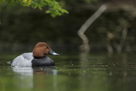 Sony Nature Common Pochard