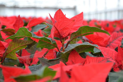 Rött är populäraste färgen på julstjärnan.