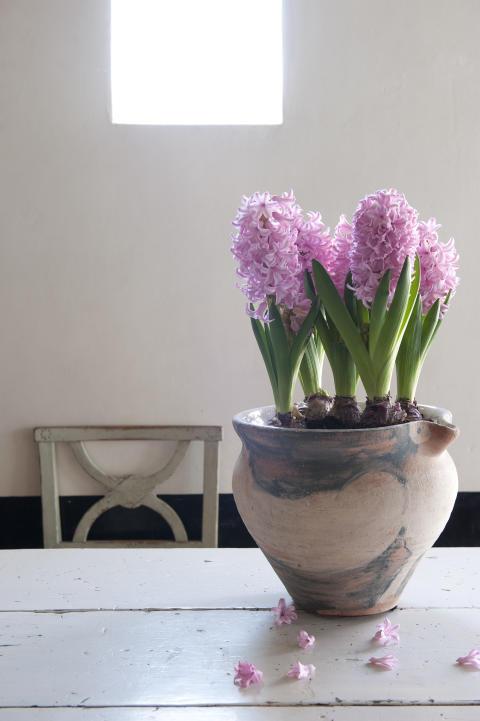 Rosa hyacinter i kruka
