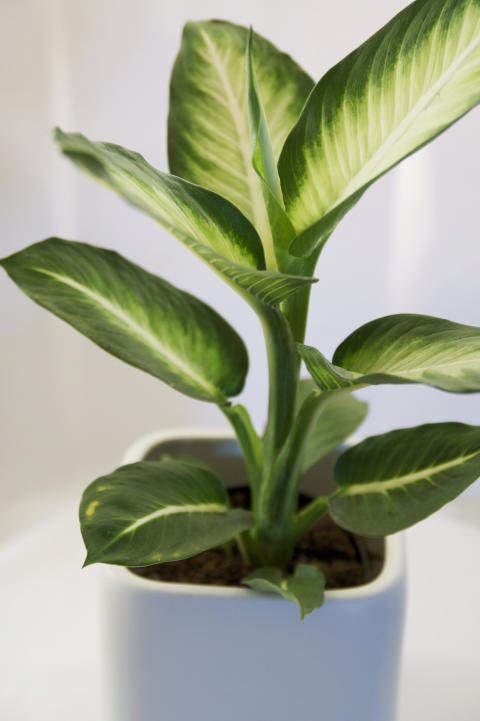 Prickblad Dieffenbachia seguine 'White Fleming'