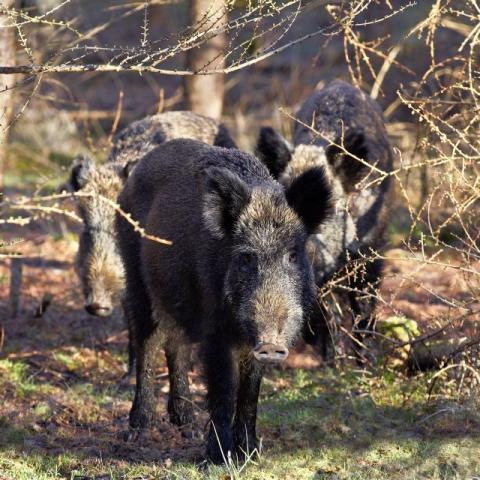 Mer svenskt vildsvinskött ska nå konsumenterna