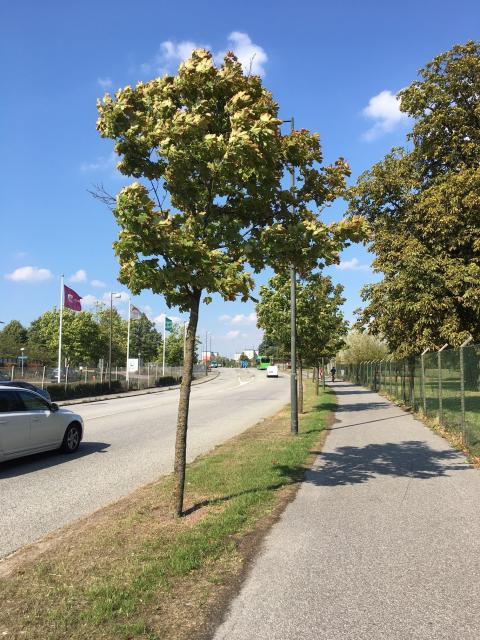 Forskningsprojekt kan rädda gatuträd och binda koldioxid
