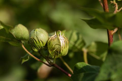 Cotton_credit to BCI, Khaula Jamil