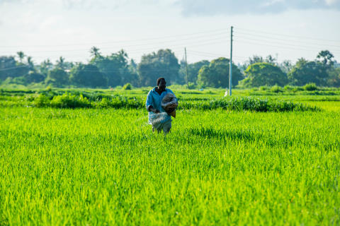 Rice Farmer at Work