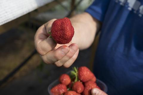 Den norske jordbærsesongen skal bli enda lenger