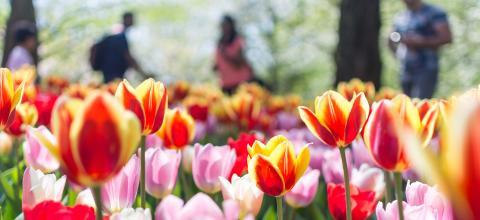 Welt-Parkinson-Tag: Die Tulpe als Symbol der Hoffnung