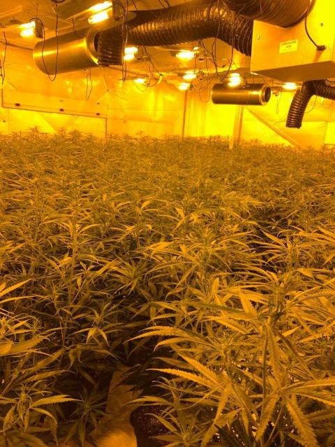 Cannabis farm 006