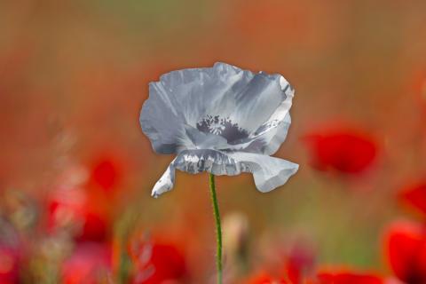 Silver Poppy