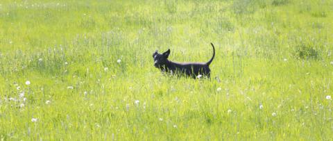 Hund i gräs