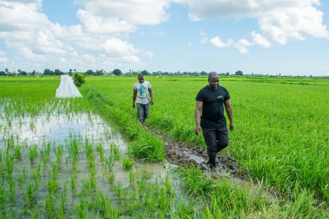 Dr Wolfgang Richard Mukabana of University of Nairobi inspecting the rice paddies