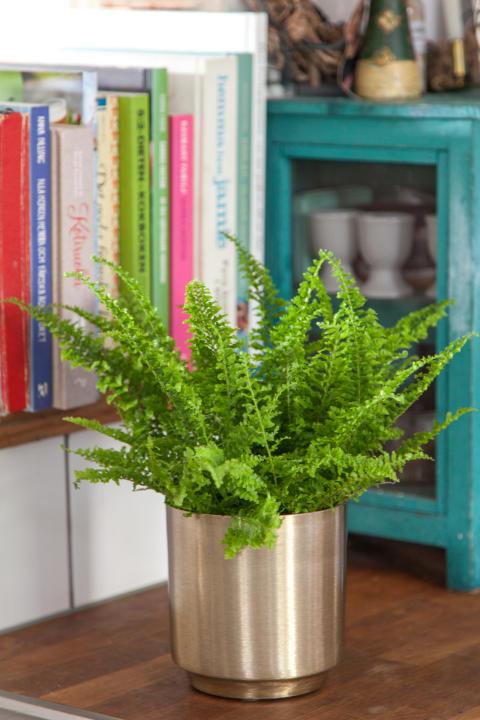 Ormbunkar - fönsterbrädans bräkenväxter.