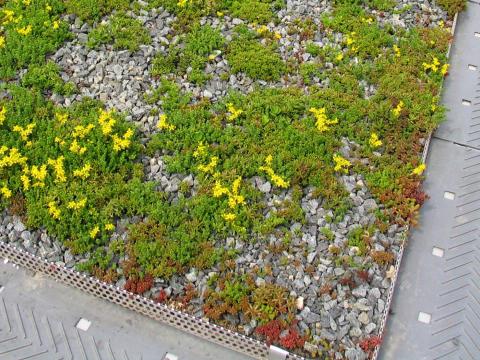 UG Sedum Miljötak – platsbyggt med miljöpoäng