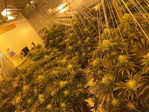 Cannabis factory 02