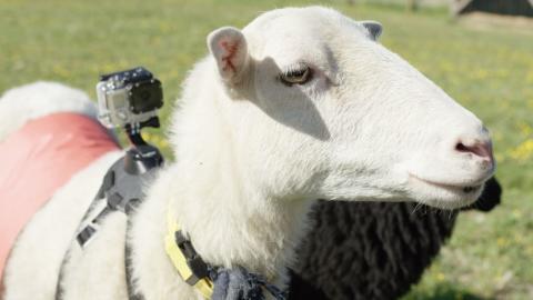 Такого еще не бывало: Норвегия глазами овцы!