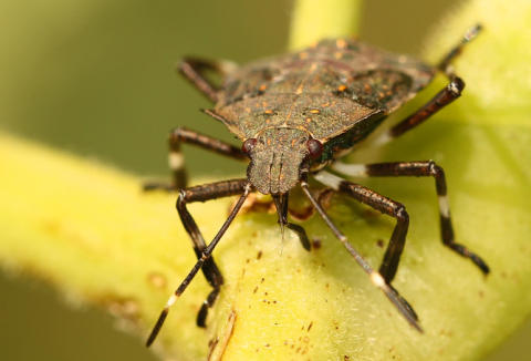 COMMENT: In defence of the stink bug