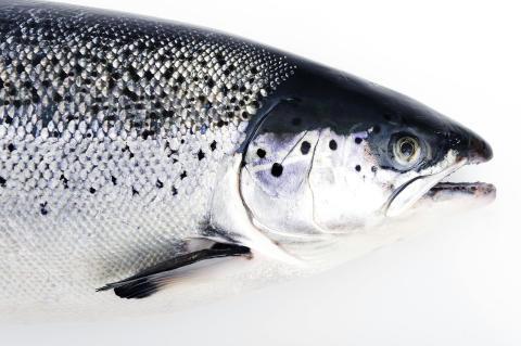NSC_Salmon_Trout_04
