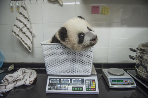 Pandas Gone Wild 1