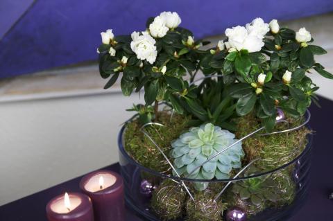 Uppstammad miniazalea och fetbladsväxter