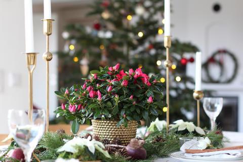 Lyckas med lyxigaste julblomman