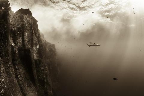 Silkie shark at Roca Partida