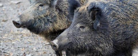 Wildbarriere an der Oder zum Schutz vor der Afrikanischen Schweinepest