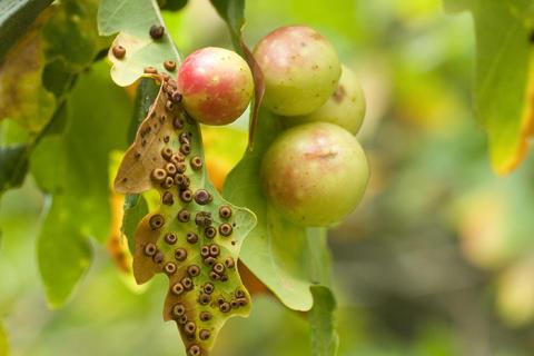 Skolelever hjälpte forskare att avslöja hur insektslivet på ekar påverkas av varmare höstar