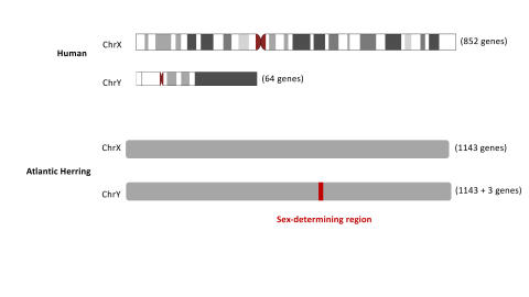 Human and herring X and Y chromosomes