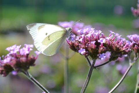 Jätteverbena och fjäril, närbild.