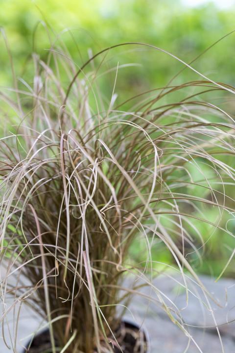 Bronsstarr, Carex comans Bronze