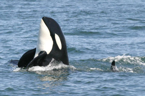 ​Funding projects globally: Hurtigruten Foundation helps saving Resident Killer Whales