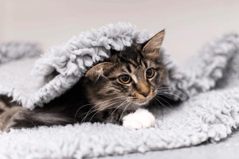 Katt under filt