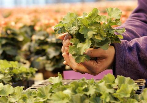 Småplantor av Årets Pelargon