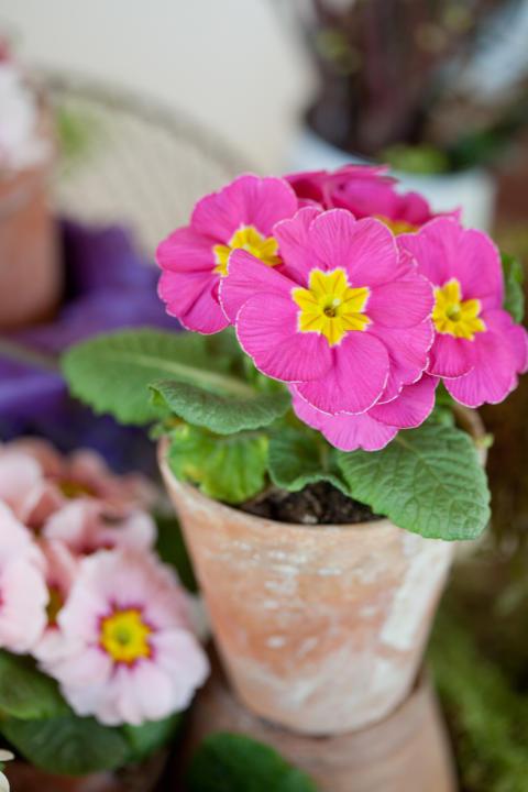 Säsongsinspiration januari – vinterns drottning Primula!