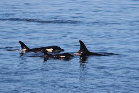 Orcas-(c)Oceans-Initiative-