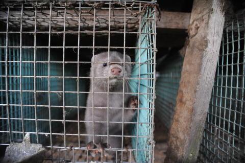 Stor nedgång för svensk pälsindustri