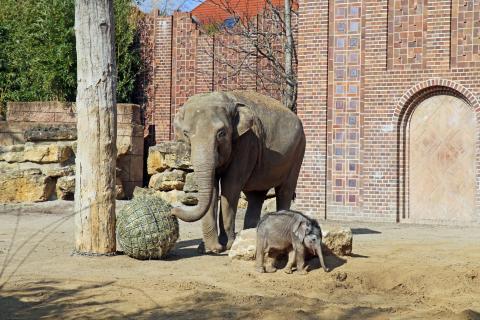 Elefantenbaby zeigte sich erstmals in der Außenanlage im Zoo Leipzig