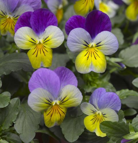 Viola (Tricolor-Gruppen) 'Deltini Blue with Purple wing'