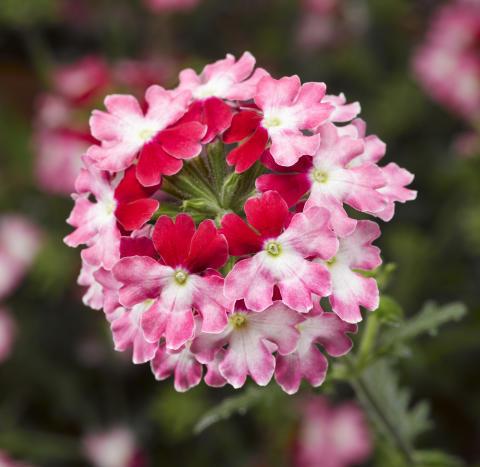 Färgsprakande nyhet – Verbena, Glandularia Lanai® Twister Red