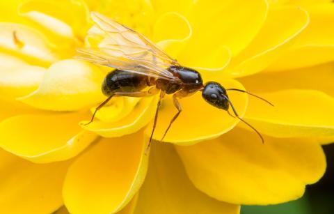 Flyvende maursverm? Ingen grunn til panikk