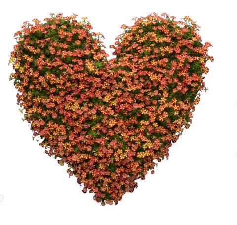 Petunia Amore