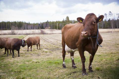 Succé för Norrmejeriers livesända betessläpp