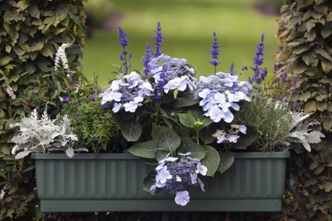 Balkonglåda med växter i blåa nyanser.