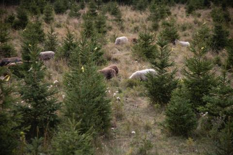 Plantagens julgranar uppfyller många krav