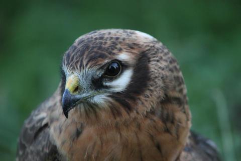 Ängshöken är hotad! BirdLife Sverige och Länsstyrelsen i Kalmar län bjuder in till information