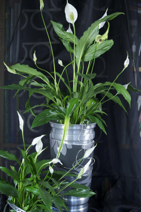Fredskalla Spathiphyllum wallisii