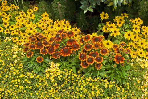 Plantering med sommarrudbeckia 'Toto Gold' och 'Toto Rustic'