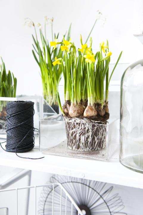 Narciss med vackra rötter