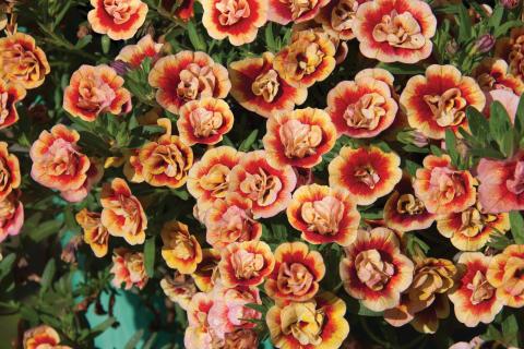 Småpetunia Calibrachoa MiniFamous® Neo Double OrangeTastic